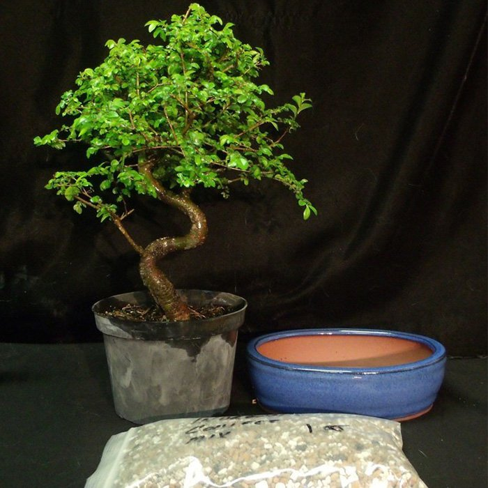 Chinese Elm Bonsai Tree Kit 2 Medium Tree Artisans Bonsai